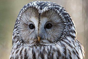 Ural Owl (Strix uralensis) in an outdoor enclosure in the Bayerischer Wald (Bavarian Forest), Lower Bavaria, Bavaria, Germany, Europe