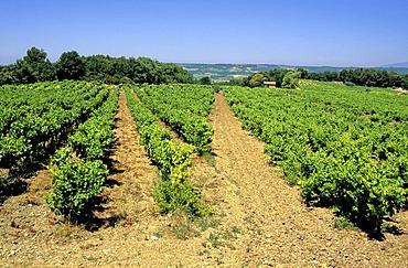 Vineyard, Cotes du Rhone, Drome, France, Europe