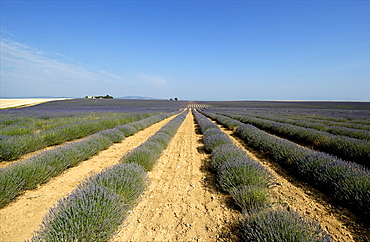 Field of lavender, Plateau of Valensole, Provence, France, Europe
