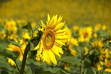Field of sunflowers (Helianthus annuus) in Auvergne, France, Europe