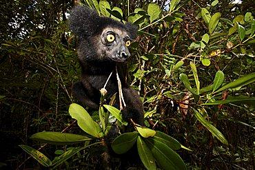 Babakoto (Indri Indri), Canal des Pangalanes, East Madagascar, Africa