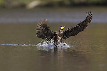 Great Cormorant (Phalacrocorax carbo) landing on water
