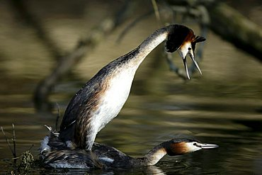 Great Crested Grebe (Podiceps cristatus) pairing