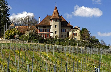 Vineyard with vines for Chasselas grapes at the foot of the Jura mountains in the spring, Begnins, Vaud, Switzerland, Europe