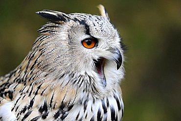 Eagle Owl (Bubo bubo), with beak open, portrait