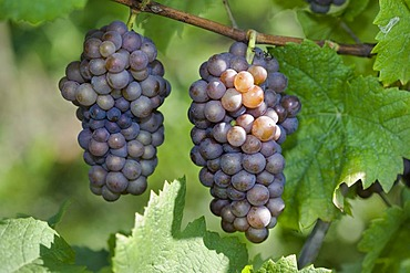 Pinot gris, gray burgundy, grapes
