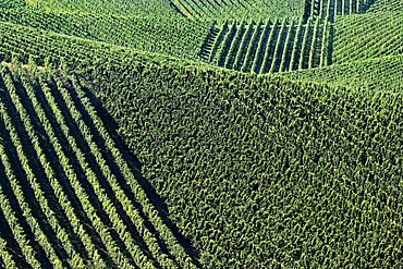 Vineyards along the Moselle River, Luxembourg, Europe