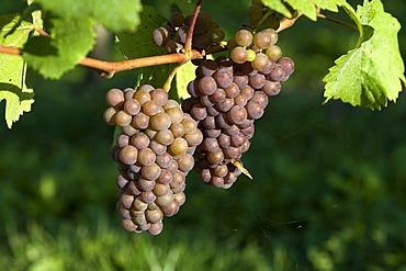 Pinot gris, gray burgundy