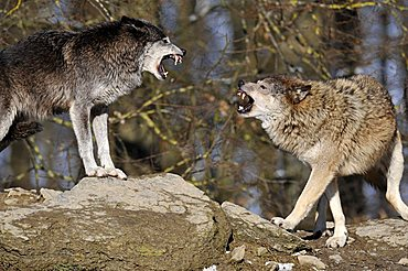 Mackenzie Valley Wolves or Canadian Timber Wolves (Canis lupus occidentalis) fighting to determine hierarchy with threatening gestures