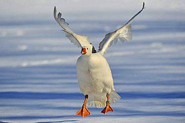 Domestic Goose (Anser anser f. domestica) landing in snow