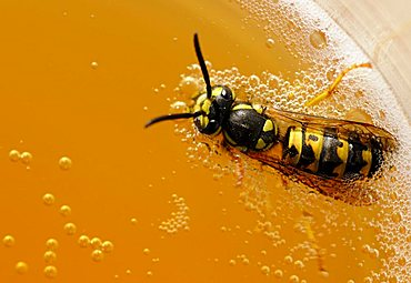 German wasp (Vespula germanica) floating in lemonade