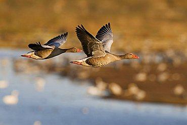 Greylag Goose (Anser anser), couple flying over resting cranes, Lake Hornborga, Vaestergoetland, Sweden, Scandinavia, Europe