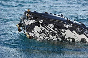 Head of a Humpback Whale (Megaptera novaeangliae) with barnacles, Hervey Bay, Queensland, Australia