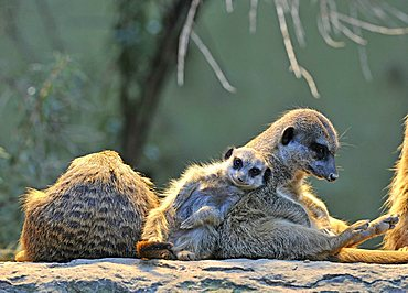 Meerkat (Suricata Suricatta), family, young animal, in need of affection