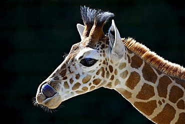 Somali Giraffe (Giraffa camelopardalis reticulata), juvenile, portrait