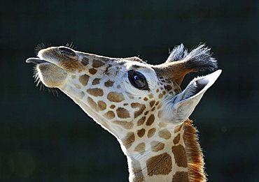 Somali Giraffe (Giraffa camelopardalis reticulata), juvenile, portrait, poking out its tongue