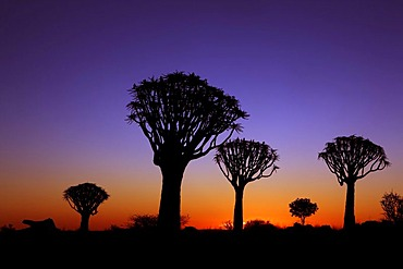 Quiver tree forest at sunset, Keetmanshoop, Namibia, Africa