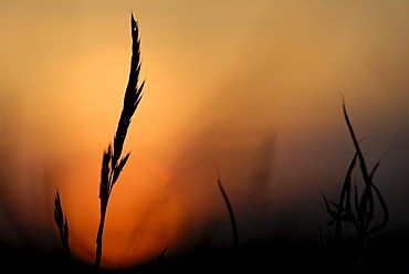 Blade of grass in the sunset