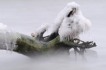 Ice-covered tree stump in water