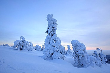 Snow-covered pines on the Brocken Mountain, Harz National Park, Saxony Anhalt, Germany, Europe