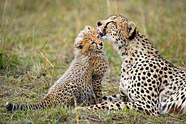 Cheetah (Acinonyx jubatus), female cleaning cub, Masai Mara National Reserve, Kenya, East Africa