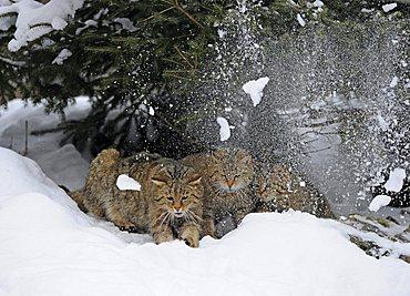Wildcat (Felis silvestris), juveniles in winter in front of den, snow breakage, thawing