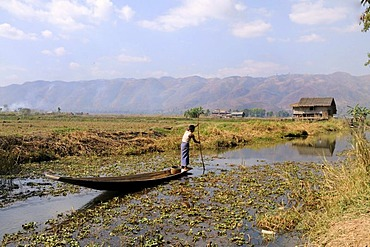 Intha Man with a canoe surrounded by Common Water Hyacinth (Eichhornia crassipes), Inle Lake, Shan State, Myanmar, Southeast Asia, Asia