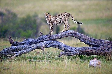 Cheetah (Acinonyx jubatus), keeping watch on a dead tree, Masai Mara National Reserve, Kenya, East Africa