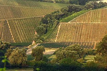 Vineyards near Escherndorf, Volkach loop of the Main river, Main-Franconia region, Lower Franconia, Franconia, Bavaria, Germany, Europe