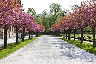 Court Gardens with flowering cherry trees, Wuerzburg Residenz, a Baroque palace, UNESCO World Heritage Site, Wuerzburg, Bavaria, Germany, Europe