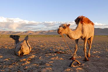 Two camels in the evening light in front of the great sand dunes of Khorgoryn Els in the Gobi Desert, Gurvan Saikhan National Park, Oemnoegov Aimak, Mongolia, Asia