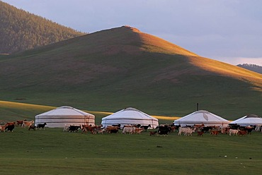 In the evenin sheep and goats are driven in a large herd near the yurt camp or ger camp, grasslands on the Orkhon waterfall, Orkhon Khuerkhree, Kharkhorin, Oevoerkhangai Aimak, Mongolia, Asia