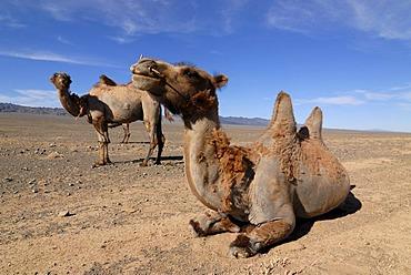 Mongolian Camels (Camelus ferus), sitting and standing in the Gobi Desert, Gurvan Saikhan National Park, Oemnoegov Aimak, Mongolia, Asia