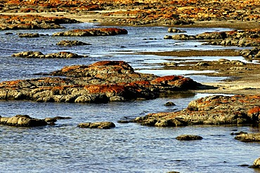 Stromatolites, Earth's oldest fossils, Hamelinbay, Northwest Australia