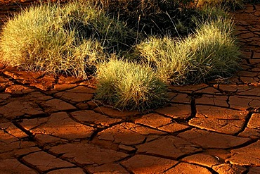 Spinifex grass in dried and cracked red soil, Pilbara, Northwest Australia