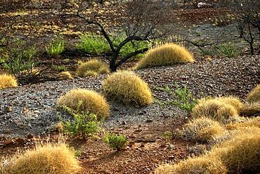 Spinifex grass, Pilbara, Northwest Australia