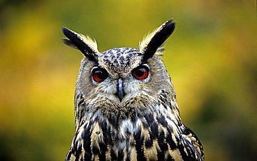 eagle owl , bubo bubo
