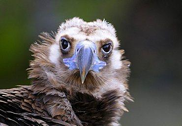 vulture, Aegypius monachus