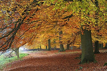 Beech tree (Fagus sylvatica) forest in autumnal colours with trail