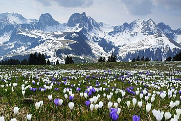 A field of blooming crocuses (Crocus vernus) near the Gurnigel Pass, the snowy Alps at the back, Bern, Switzerland, Europe
