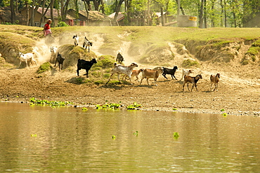Goats jumping down an embankment to ford the river, followed by a cloud of dust, Chitwan National Park, Nepal, Asia