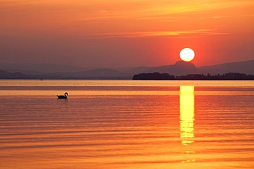 Lonesome swan swimming during sunset on Lake Constance looking at the Hegau landscape, Hegne, Baden-Wuerttemberg, Germany, Europe