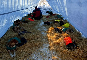 4 time champion Hans Gatt massaging his dogs, 36-hour layover, Dawson City, Yukon Quest 1, 000-mile International Sled Dog Race 2010, Yukon Territory, Canada