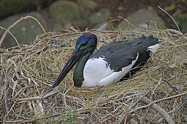 Black-necked Stork (Ephippiorhynchus asiaticus), in nest, Queensland, Australia