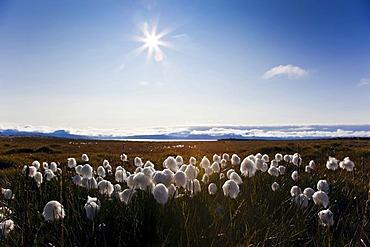 Cotton grass (Eriophorum), Svalbard, Spitsbergen, Norway