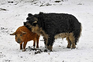 Mangalitsa pigs, very rare, on the protected species list for endangered domesticated animals