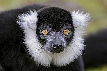 Ruffed Lemur (Lemur variegatus), Vari, prosimian