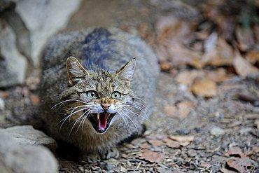 Young Wildcat (Felis silvestris), hissing
