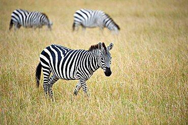 Grant's Zebra (Equus quagga boehmi), Masai Mara, national park, Kenya, East Africa