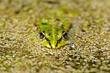 Pool frog (Rana lessonae), in a pond